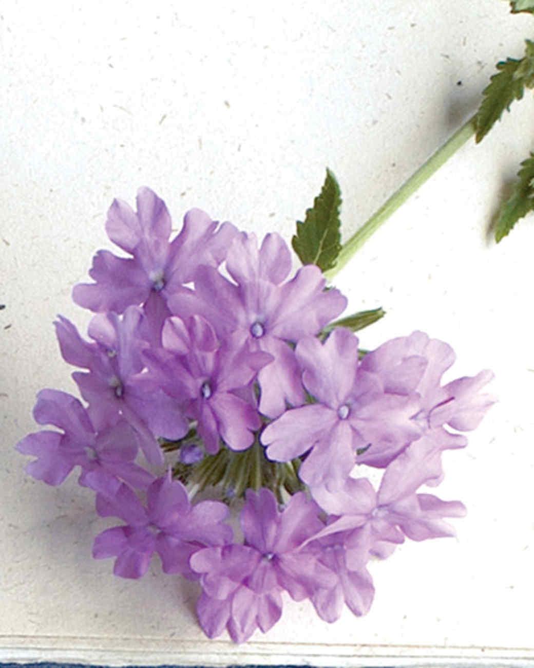 mld104318_0609_superbena_large_lilac_blue.jpg