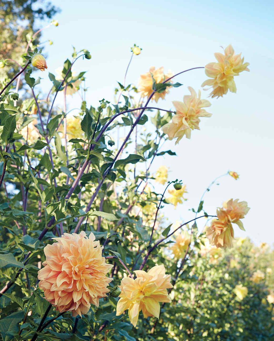 meadowburn-farms-garden-dahlias-046-d111557.jpg