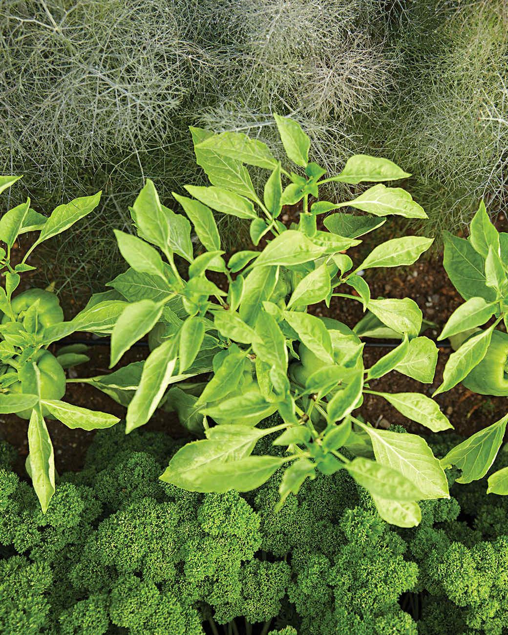 rockefeller-fennel-pepper-parsley-419-d112371.jpg