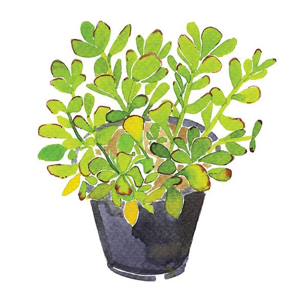 jadeplant-i111724.jpg