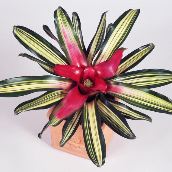 blushing-bromeliad.jpg