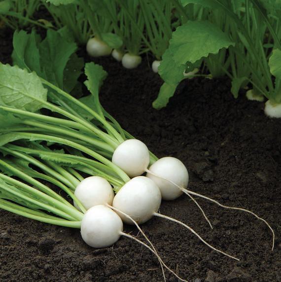 turnips-white-0328