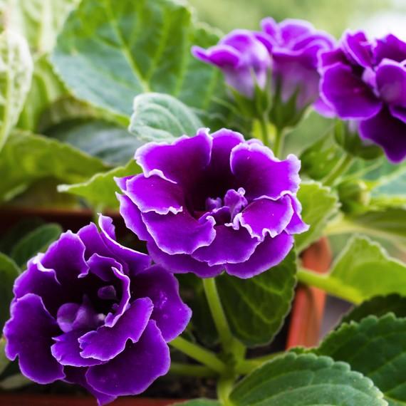 violet-slipper-gloxinia.jpg