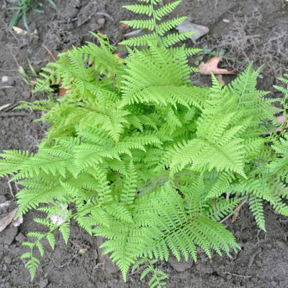 transplanting-ferns-farm.jpg