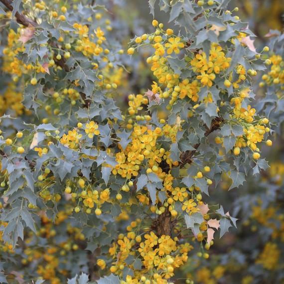 Mahonia-yellow-flowers-0316.jpg (skyword:242022)