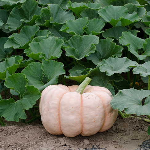 Pink pumpkins like these are grown by farmers to support breast cancer awareness.