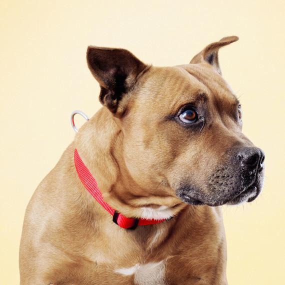 straffordshire-dog-portrait.jpg