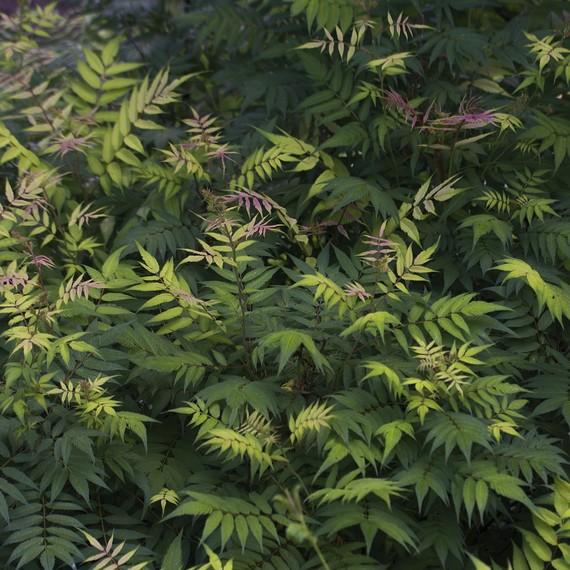 flowering-shrub-foliage-0316.jpg (skyword:242020)