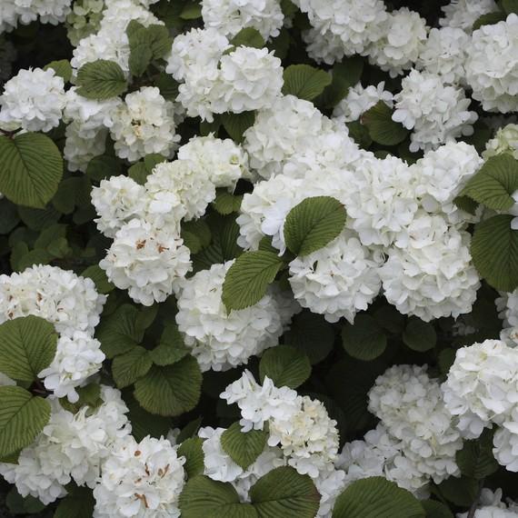 Viburnum-plicatum---Popcorn--0316.jpg (skyword:242036)