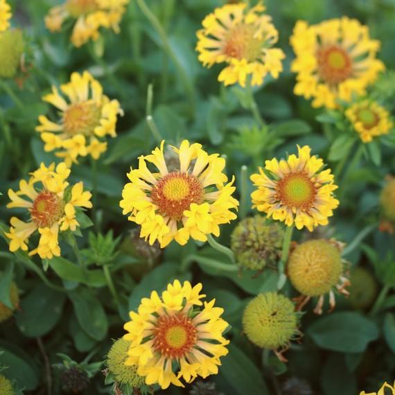 gaillardia-grandiflora-moxie-0316.jpg
