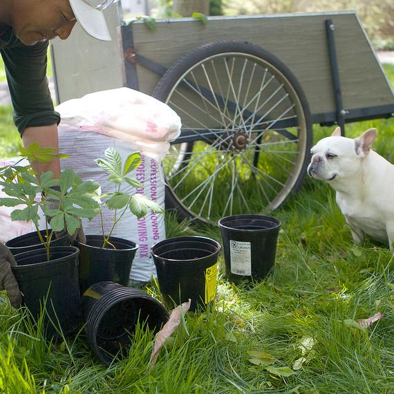 plantingamericanchestnut-4635-fs-0614.jpg