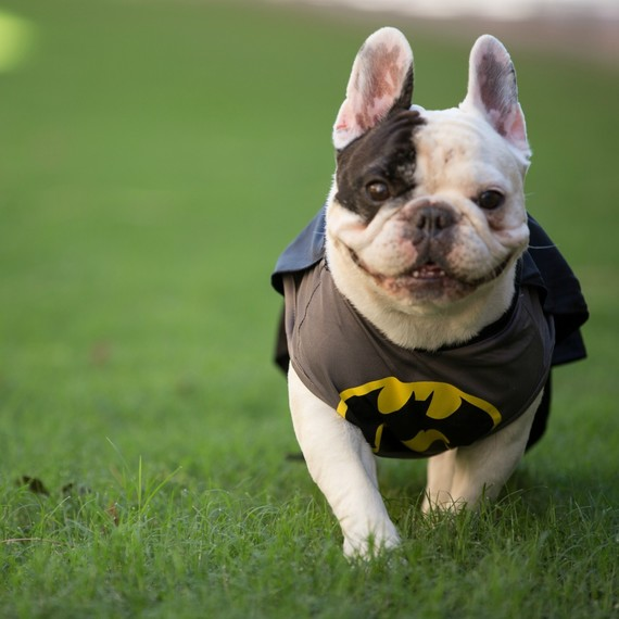 A french bulldog in a Batman Halloween costume