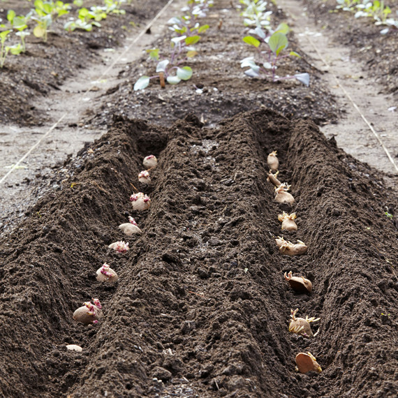 How to Plant Potatoes | Martha Stewart