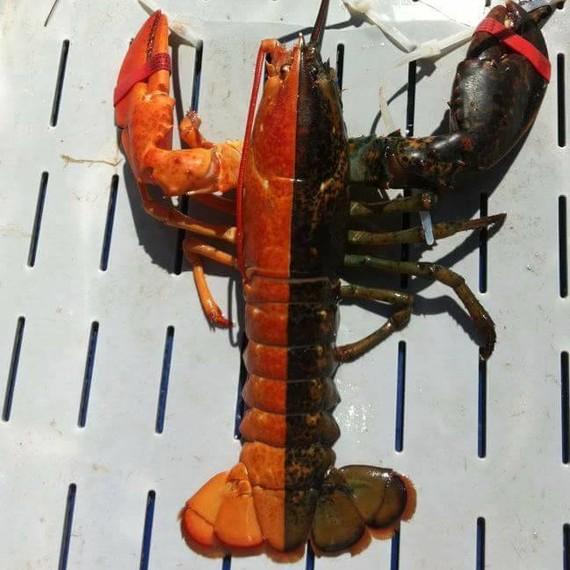 chad-graham-rainbow-lobster-craziest-2-0117