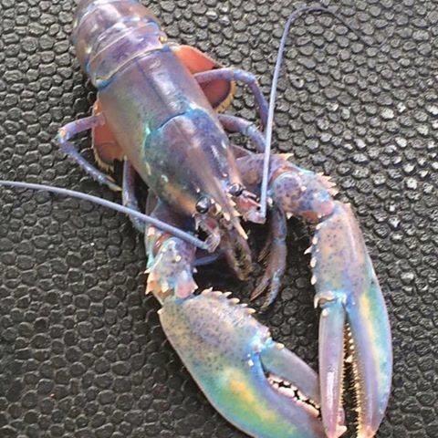 chad-graham-rainbow-lobster-craziest-0117