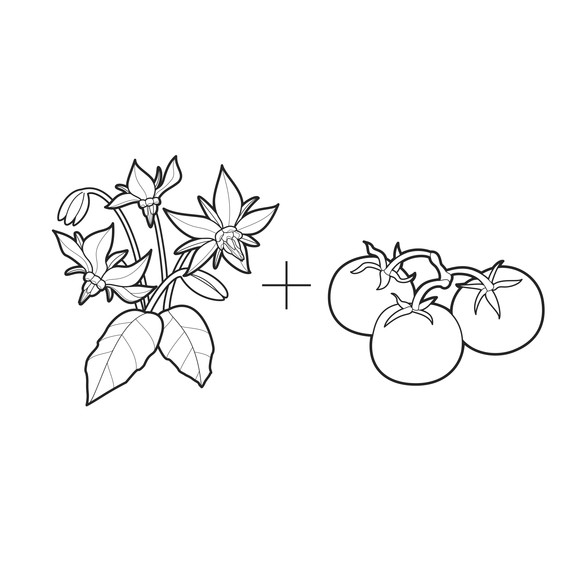 ask-martha-borage-and-tomatoes-illustration-0314.jpg