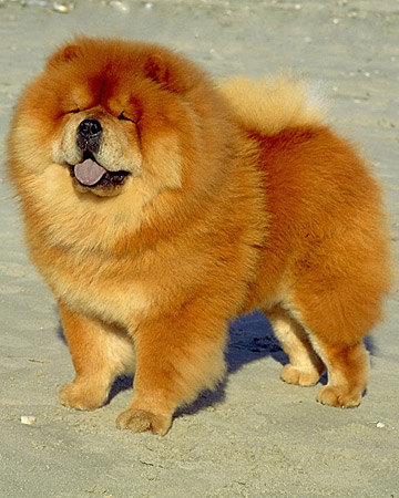 Chow Chow Breeders