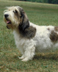 pbgv_akc_bloom.jpg
