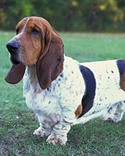 AKC Basset Hound Photo
