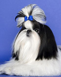 AKC Shih Tzu Photo Gal