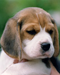 AKC Beagle Photo Galle