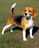 akc_beagle_13inc_bloom.jpg