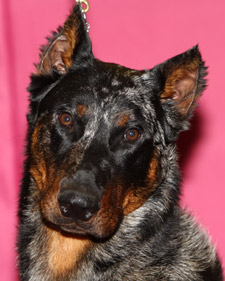 akc_beauceron9977_bloom.jpg