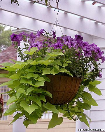 Gallery for sweet potato vine hanging basket - Summer hanging basket ideas ...