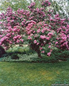 Buy mature lilac bushes