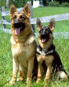 AKC Meet the Breeds: German Shepherd Dog