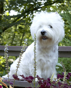 AKC Meet the Breeds: West Highland White Terrier