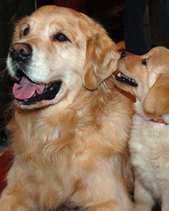 AKC Meet the Breeds: Golden Retriever
