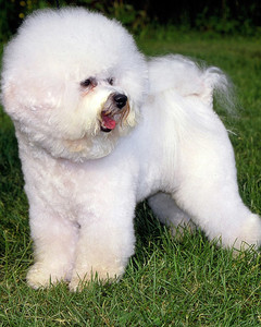 akc_bichon_bloom.jpg