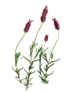 bs_0406_lavender.jpg