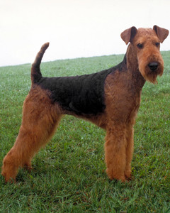 akc_airedale_bloom.jpg