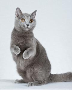 cat-breeds-ha23-184.jpg