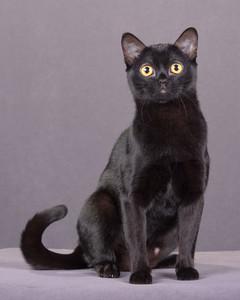 cat-breeds-ka26-536.jpg