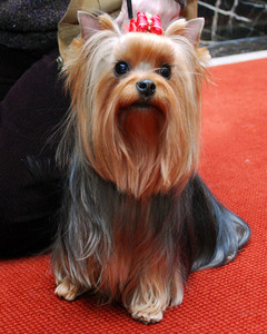 AKC Meet the Breeds: Yorkshire Terrier
