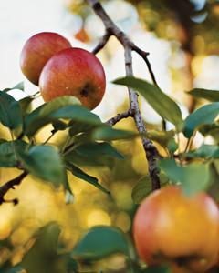 apples11-a103601-1014.jpg