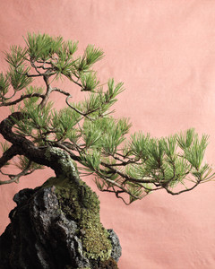 Tremendous Bonsai Training Tips And Care Martha Stewart Wiring Digital Resources Funapmognl