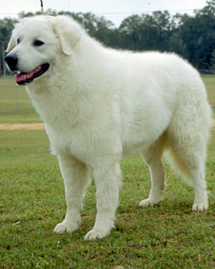 akc_working_kuvasz_bloom.jpg