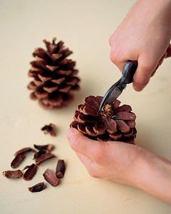 Remove Pinecone Scales With Small Fl Clippers