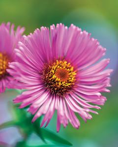 aster-flower-0811mld107525.jpg