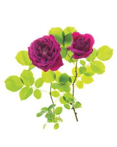 hugh-dickson-rose-ms108508.jpg