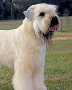 akc_softcoatedwheaten_bloom.jpg