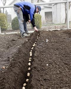 4144_041609_plantingpotatoes.jpg