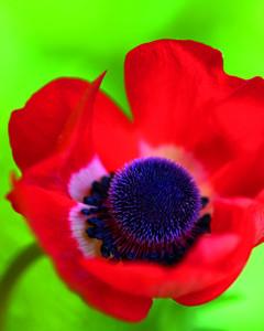 5118_031810_anemonecoronaria.jpg