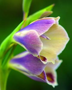 5118_031810_gladioluspapilio.jpg