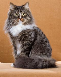cat-breeds-siberian-mi04_317.jpg