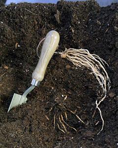 6125_032911_planted_asparagus.jpg